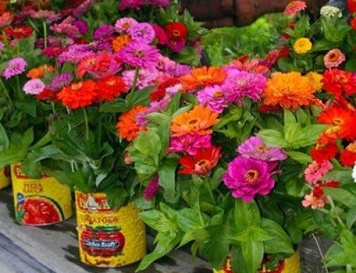 کاشت گل آهار در گلدان
