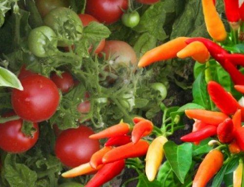 راهنمای کاشت گوجه فرنگی و فلفل
