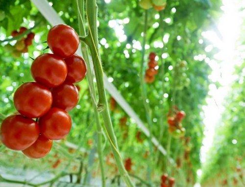 نکاتی مهم گوجه فرنگی گلخانه ای