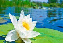 تصویر پرورش گل نیلوفر آبی
