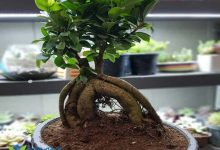 تصویر روش تعویض گلدان درخت بونسای
