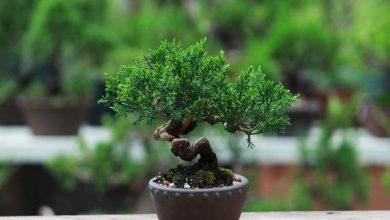 تصویر راهنمای شروع پرورش درخت بونسای