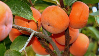 تصویر درخت خرمالو