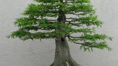 تصویر بونسای درخت سرو کوهی