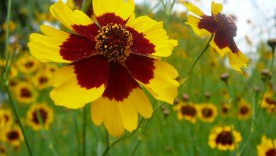 تصویر راهنمای صحیح کاشت گل اشرفی