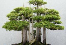 تصویر صفر تا صد کاشت درخت سرو کوهی