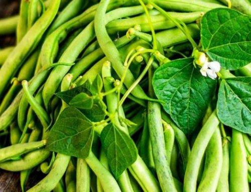 0 تا 100 کاشت لوبیا سبز